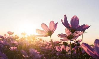 roze kosmosbloemen in de tuin bloeien zachtjes in de zomerzonsondergang foto