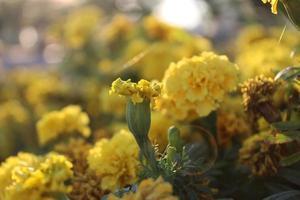 macro close-up van oranje en gele goudsbloem bloemen in bloei in het voorjaar foto