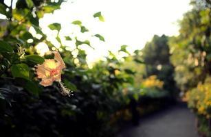 lichtbeige pastel gele hibiscus bloem jungle en een pad foto