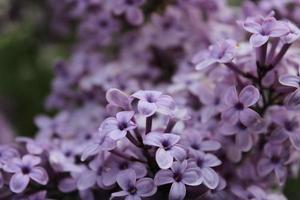 macro close-up van lila bloemen in bloei foto