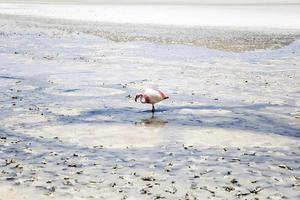 flamingo bij laguna hedionda in bolivia foto