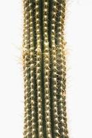 cactus op witte achtergrond foto