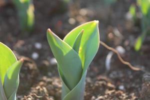 macro close-up van groene plant spruiten en zaailingen in de bodem foto