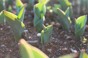 macro close-up van groene plant spruiten en zaailingen in de bodem