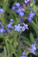 macro close-up van een blauwe Italiaanse alkanet in bloei tijdens de lente