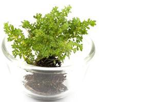 kleine boom in een glazen beker op een witte achtergrond foto