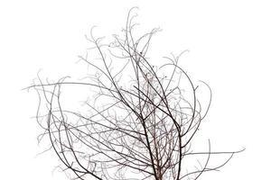geïsoleerde gedroogde boom op een witte achtergrond foto