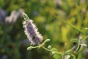 lavendelplant in het voorjaar met macrodetails