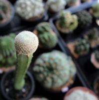 kleine enkele torenhoge cactus in een pot met onscherpe achtergrond, cactussen woestijnplant foto