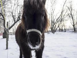 portret van een miniatuurpaard die de camera bekijkt die zich in een besneeuwde tuin bevindt