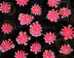Mexicaanse kleurrijke roze cactus woestijnplant foto