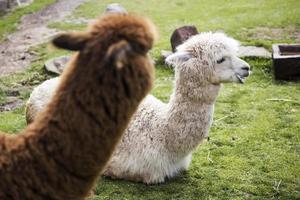 schattige kleine baby alpaca foto
