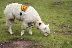schattige kleine alpaca uit cusco, peru foto