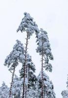 besneeuwde bomen in winter woud