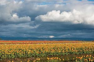 wolken boven een tulpenveld