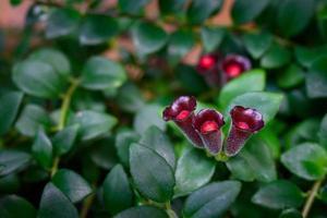 aeschynanthus radicans op bomenclose-up