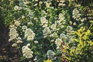 achtergrond van witte bloemstruiken foto