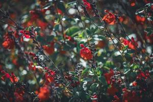 kleine rode bloemen in een veld foto