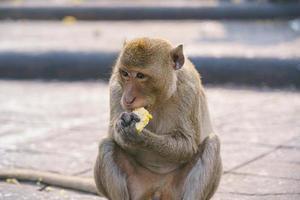 krab-etende makaak die fruit eet in snoeit Buri, Thailand foto