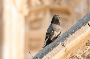 duif op de richel van een oud gebouw foto