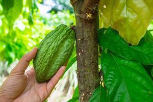 cacaovrucht op een tak van de boom