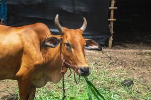 portret van een bruine koe op een boerderij foto