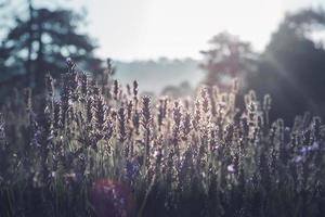 lavendel in zonsondergang foto