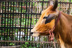 zijportret van een koe op een boerderij