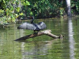 aalscholver drogen zijn vleugels amazone reservaat foto