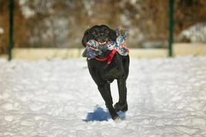 zwarte gelukkige hond die in de sneeuw loopt foto