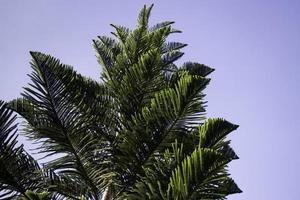 groenblijvende boom achtergrond foto