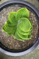 zanzibar edelsteenplant in buitentuin