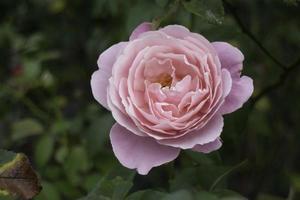 roze roos bloeien in de natuur