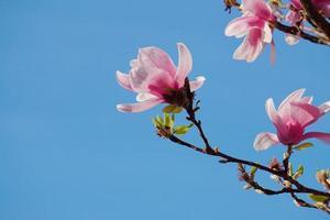 mooie roze bloem in de lente foto