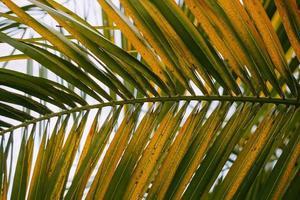 groene palmboom laat achtergrond foto