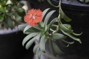 rode bloem in binnentuin foto