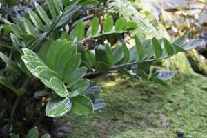 wasachtige bladplant in de tuin