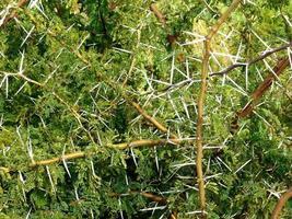 doornige planten of doornstruiken foto