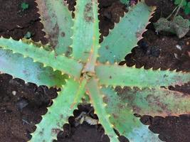 plant met gekartelde of doornige bladeren foto