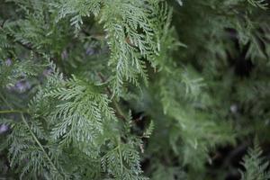 groene varenboom