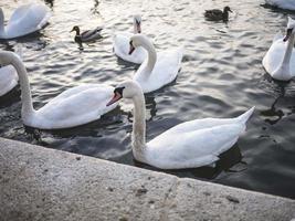 groep zwanen in water foto