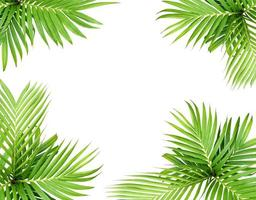 groen blad van een palmboom geïsoleerd op een witte achtergrond foto