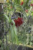 rode orchidee in een tuin