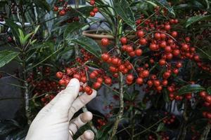hand op rode bessen op een boom