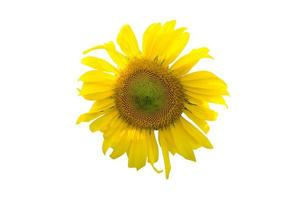 zonnebloem op een witte achtergrond foto