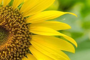 close-up van zonnebloem bloemblaadjes foto