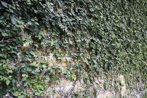 klimop overdekte bakstenen muur