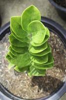 zanzibar edelsteenplant in een sierpot foto