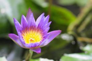 paarse lotusbloem met geel stuifmeel foto