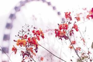 rode koninklijke poincianabloem die in het voorjaar bloeit